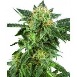 Snow Ryder Auto Feminized (White Label Seeds)