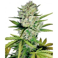 Super Skunk Auto Feminized (White Label...