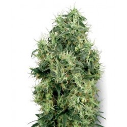 White Gold Feminized (White Label Seeds)