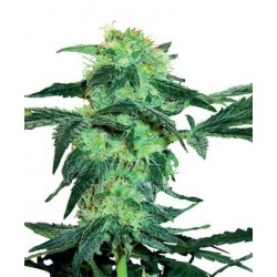 White Ice Feminized (White Label Seeds)