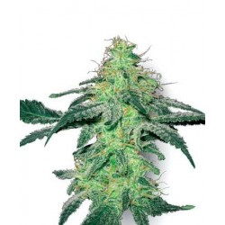White Skunk Feminized (White Label Seeds)