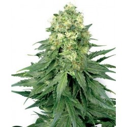 White Widow Feminizowane (White Label Seeds)