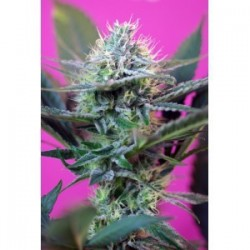 + Speed Auto Feminizowane (Sweet Seeds)
