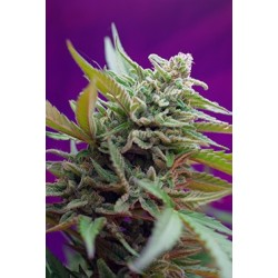Black Jack Auto Feminized (Sweet Seeds)