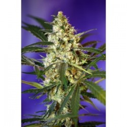 Fast Bud 2 Auto Feminized (Sweet Seeds)