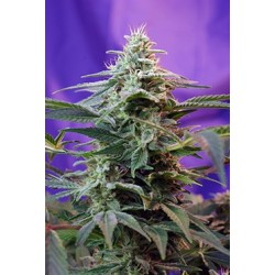 Sweet Special Auto Feminized (Sweet Seeds)