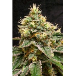 Confidential Cheese Feminized (Reserva...