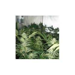 White Widow Feminized (Medical Seeds)