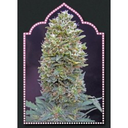 Auto Bubble Gum Feminizowane (00 Seeds Bank)