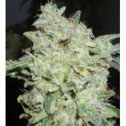 Afghan Kush Special Feminized (WOS)