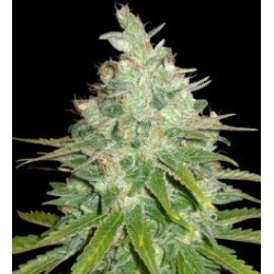 Afgan Kush x Black Domina Feminized (WOS)