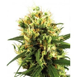 White Haze Automatic Feminized (White...