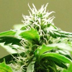 Auto Speed Bud Feminized (Female Seeds)
