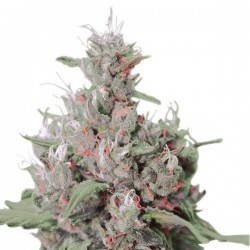 Royal Creamatic Auto Feminizowane (Royal Queen Seeds)