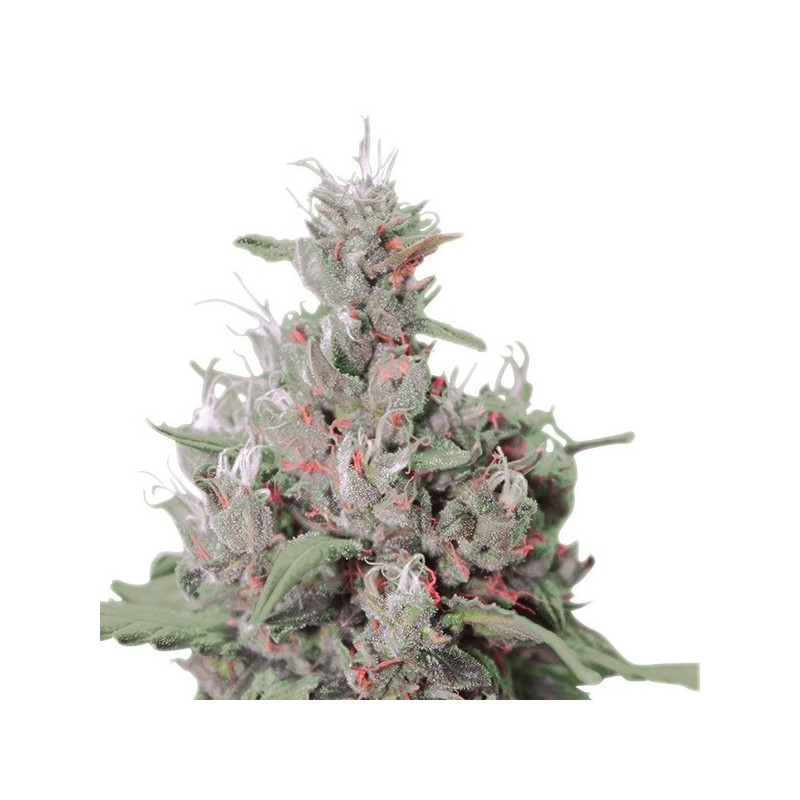 Royal Creamatic Auto Feminized (Royal Queen Seeds)