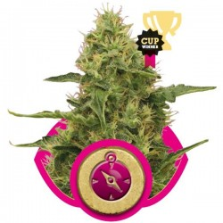 Northern Light Feminizowane (Royal Queen Seeds)