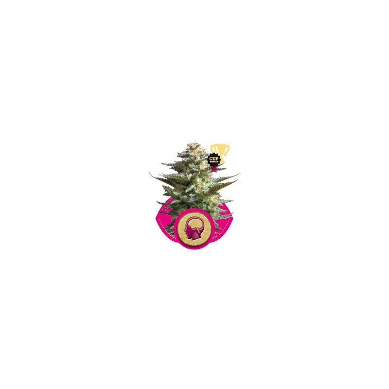 Amnesia Haze Automatic Feminized (Royal Queen Seeds)