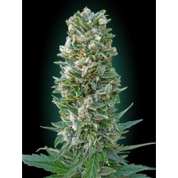 Auto Heavy Bud Feminized (Advanced Seeds)