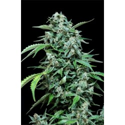 Auto Maxi Haze Feminized (Grass O Matic)