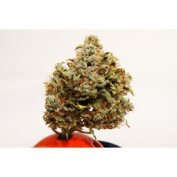 Betty Boo Auto Feminized (Joint Doctor)
