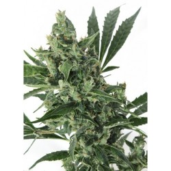 Med GOM 1.0 Auto Feminized (Grass O Matic)