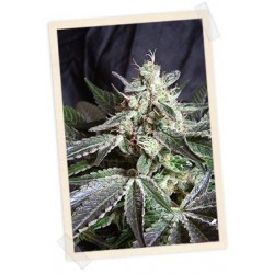 Back Jack F1 Fast Version Feminizowane (Sweet Seeds)