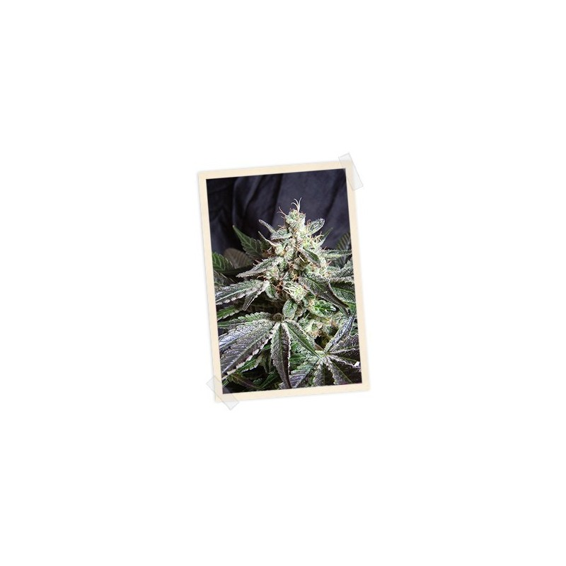 Back Jack F1 Fast Version Feminized (Sweet Seeds)