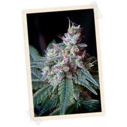 Cream Caramel F1 Fast Version Auto Feminized (Sweet Seeds))