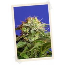 Green Poison F1 Fast Version Feminizowane (Sweet Seeds)