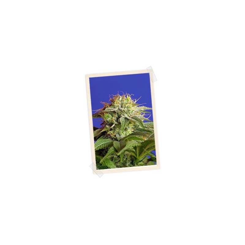 Green Poison F1 Fast Version Feminized (Sweet Seeds)