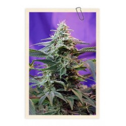 Sweet Special F1 Fast Version Feminizowane (Sweet Seeds))