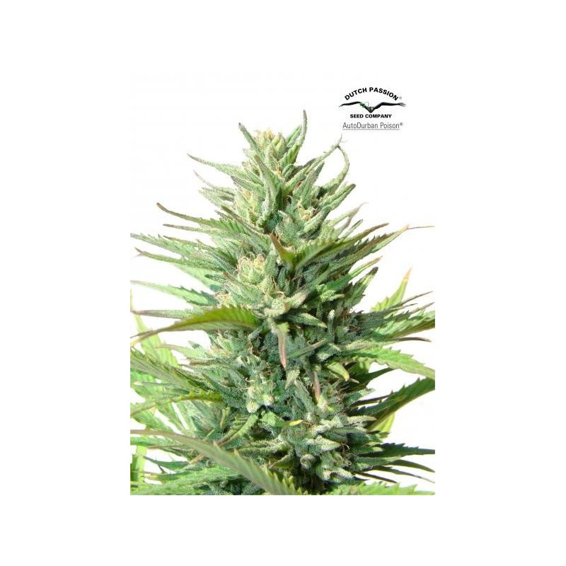 AutoDurban Poison Feminized (Dutch Passion)