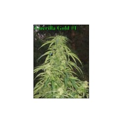 Guerilla Gold Regularne (Soviet Finland Seeds)