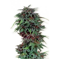 Durban Poison Regularne (Dutch Passion)