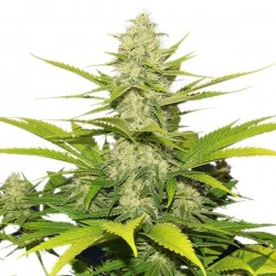 Skunk XL Feminizowane (Royal Queen Seeds)