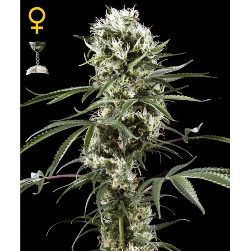 Super Lemon Haze Feminizowane (Greenhouse Seeds)