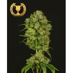 CASEY JONES REGULAR(TheDevilHarvestSeeds)