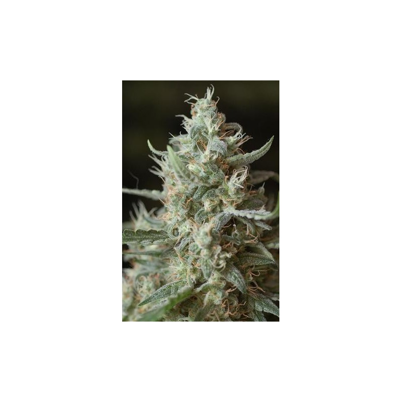 Sugar Punch Feminized (Sannie`s Seeds)