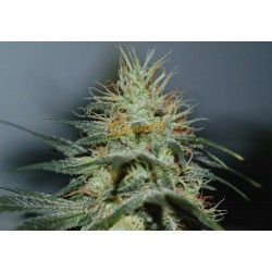 Shackzilla Feminized (Sannie`s Seeds)