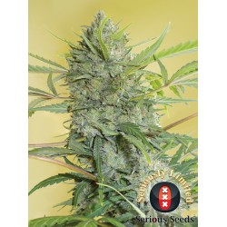 Serious Happiness FEM  (Serious Seeds)