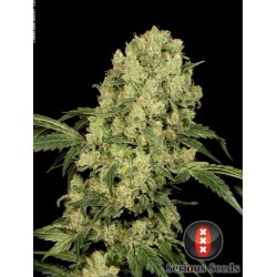 AK47 REGULARNE  (Serious Seeds)