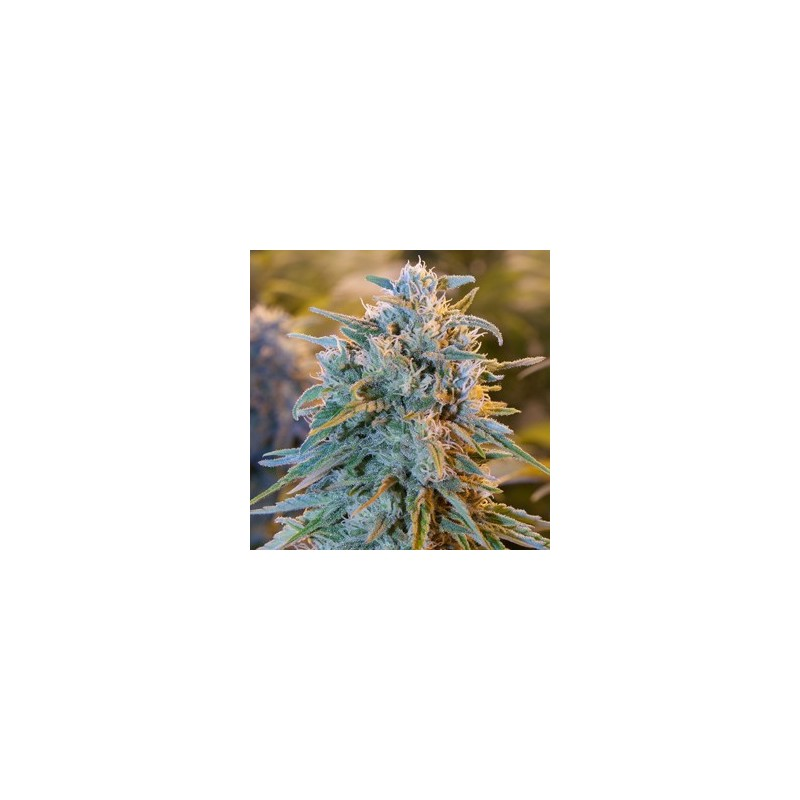 Blue Dream Feminizowane (Humboldt Seeds)