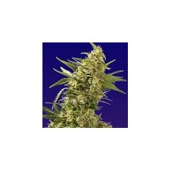 AK Auto Feminized (Spliff Seeds)