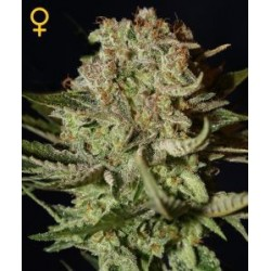 Super Bud Feminized (Greenhouse Seeds)