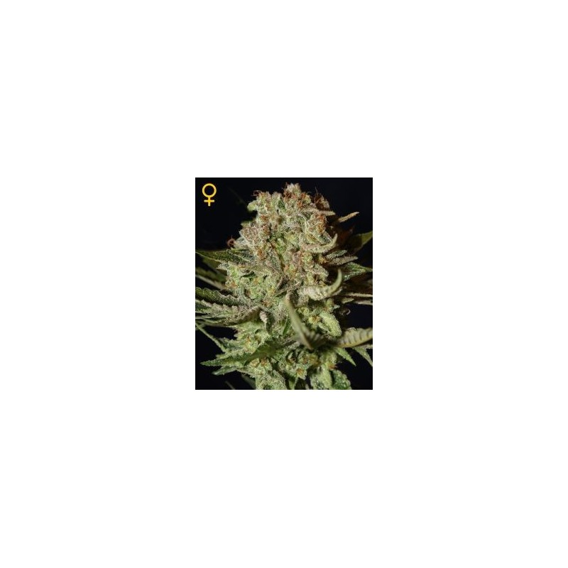 Super Bud Feminized (Greenhouse Seeds)
