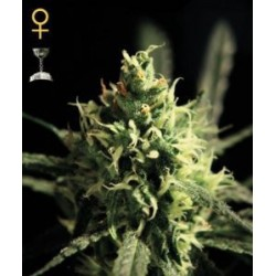 Lemon Skunk Feminized (Greenhouse Seeds)