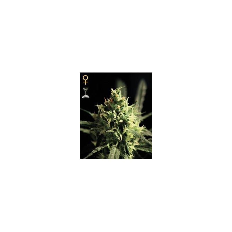 Lemon Skunk Feminizowane (Greenhouse Seeds)