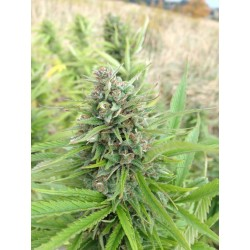 Exodus Cheese Feminized (Greenhouse Seeds)