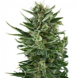 Quick One Feminizowane auto  (Royal Queen Seeds)
