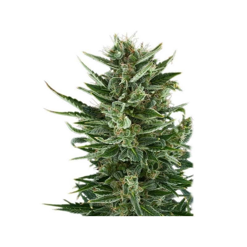 Quick One Feminized auto (Royal Queen Seeds)